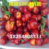 嫁接油桃桃树苗管理嫁接油桃桃树苗1公分粗的几年见效益