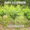 沙子早生桃树种苗技术沙子早生桃树种苗80公分高的怎么卖