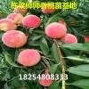 北京14号桃苗成熟期北京14号桃苗6公分粗的怎么卖
