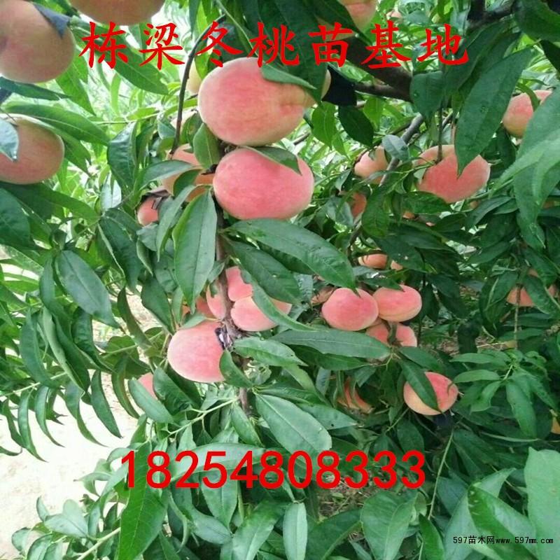 蟠桃桃树苗价格蟠桃桃树苗1公分粗的几年结果
