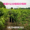毛桃树苗批发毛桃树苗1米5高的一棵多少钱