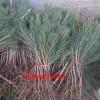 黑红小苗多少钱 黑松树苗繁育基地