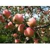 山东苹果树苗批发