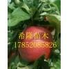 江西可以种苹果吗? 江西哪里有卖苹果苗的  鲁丽苹果苗