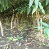 黄金蟠桃树苗价格 中华寿桃树苗们哪里卖 血桃苗基地