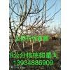 供应1-20公分山楂树苗,柿子树苗,核桃树苗,苹果树苗