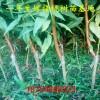 金黄后桃苗基地金黄后桃苗1米高的几年见效益