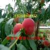 帅师香桃树种苗图片帅师香桃树种苗1公分粗的几年结果
