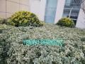 黄杨种类五花八门