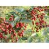 哪里有大红袍花椒苗 花椒苗价格 18562301011