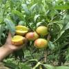 2018年应该种植什么品种的油桃树苗 油桃树苗什么好