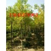 东方苗木出售6-10公分金枝槐 枝条茂盛 根系粗壮