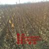 冬桃树苗什么品种最好?映霜红桃树苗品种好、秋彤桃树苗品种