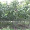 农户直销9公分栾树包运输
