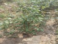 蓝莓苗品种介绍价格
