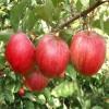 香红苹果苗 香红苹果树秧苗 香红苹果苗价格