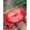 草莓苗多少钱一颗