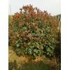 福建红叶石楠采购批发 质优价廉 基地种植