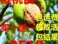 3公分核桃树价格