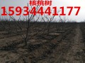 5公分核桃树多少钱一棵?