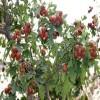 1公分山楂苗上市 歪把红山楂苗成熟时间
