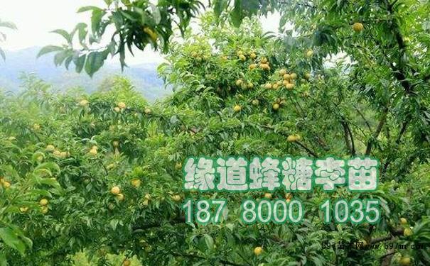 果实消耗了树体大量的养分,采果后必须及时补充营养,以恢复蜂糖李树