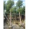 大量揭阳香樟树袋苗低价出售15公分揭阳香樟树袋苗批发商