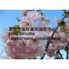 山东青岛樱花绿化工程苗销售中心 品种齐全 规格齐全