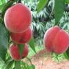山東冬桃樹苗種植基地東桃樹苗多少錢一棵哪有賣的