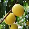 泰安黄桃苗基地锦绣黄桃树苗多少钱一棵哪有卖的大红桃树苗