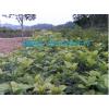 马尼拉草坪,广西马尼拉草坪,工程小苗,杜鹃,红继木,四季桂