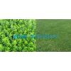湖南马尼拉草坪,云南马尼拉草坪,贵州马尼拉草坪,绿化小苗