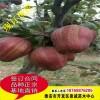 梨树苗 基地供应优质嫁接梨树苗 早酥红梨 规格齐全 梨树苗