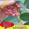 花椒苗 基地供应优质花椒树苗 大红袍花椒苗 规格齐全 花椒苗