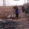 清地处理5公分6公分8公分泰山核桃树