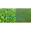 马尼拉草坪批发,湖南马尼拉草坪,福建马尼拉草坪,云南马尼拉草