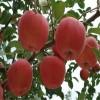 基地直供红富士苹果苗量大可优惠山东红富士苹果苗