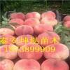 2公分3公分桃树苗价格、4公分5公分桃树多少钱一棵