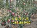 哪里有矮化苹果苗//矮化苹果树苗