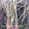 山东香椿苗种植基地 红油香椿苗多少钱一棵