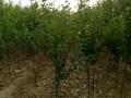 2-3-4公分苹果树