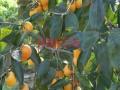 牛心柿子苗供应价格