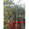 7公分8公分梨樹價格 10公分12公分15公分20公分大梨樹