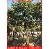 江西重阳木(秋枫)价格 常绿苗木秋枫18公分重阳木种植基地