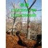 8公分10公分核桃树 12公分15公分20公分大核桃树