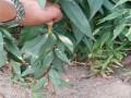 山东晚熟桃树苗品种
