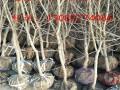 新品种石榴苗多少钱