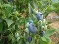 蓝莓苗品种莱格西