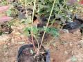 蓝莓苗品种南陆