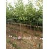 5公分樱花树苗哪里便宜 3公分、5公分樱花树价格